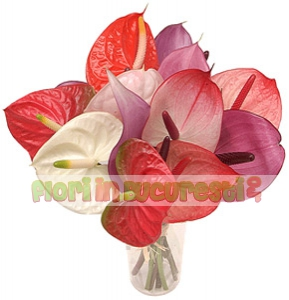 Anthurium mix
