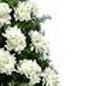 Coroana crizanteme