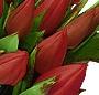 Lalele rosii