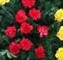 Coroana rosu cu galben